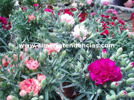 Flores primavera claveles
