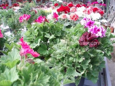 Flores primavera geranios de colores