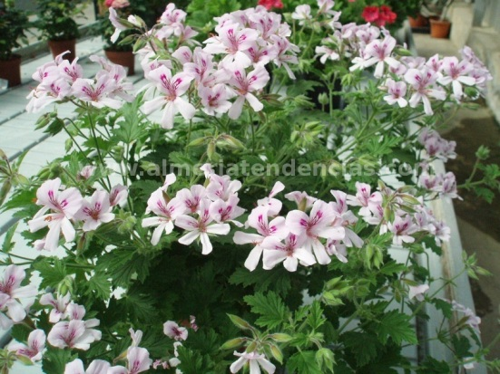 Flores primavera geranios
