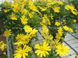Flores primavera margaritas amarillas