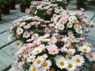 Flores primavera margaritas colores