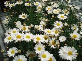 Flores primavera margaritas