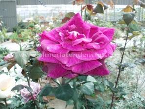 Flores primavera Rosa
