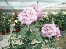 Flores primavera rosas